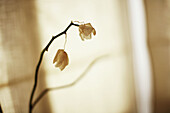 Artistic effect, Color, Colour, Concept, Concepts, Death, Faded, Flower, Flowers, Indoor, Indoors, Interior, Monochromatic, Monochrome, Mood, Plant, Plants, Sepia, Sepia tone, Still life, Symbol, Symbols, Toned, Withered, J11-643743, agefotostock