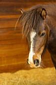 Domestic Horse (Equus caballus)