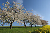 Blossoming Cherry Trees near Rape field, Gera, Thueringen, Germany