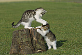 Two kitten playing on log  Bavaria, Germany, Europe