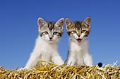 Kitten on straw yawning  Bavaria, Germany, Europe