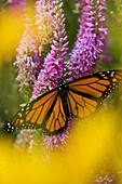 Monarch butterfly (Danaus plexippus) nectaring on speedwell plant in flower garden