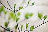 Emerging Roughleaf dogwood leaves (Cornus drummondi)