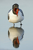 Laughing Gull (Larus atricilla) in breeding plumage, yawning. Florida, USA.