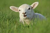Domestic Sheep (Ovis aries), lamb. Mainland, Orkney Islands, Scotland.