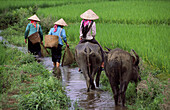 Women with water buffaloes, Binh Lu, Lai Chau Province, Vietnam