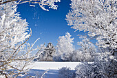 Winter scenery with trees and white frost, Upper Bavaria, Germany