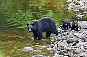 Black Bear female with cubs on the waterfront, Ursus americanus, Alaska, USA