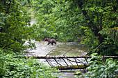 Brown Bear fishing in the river, Ursus arctos, Pack Creek, Tongass National Park, Admiralty Island, Alaska