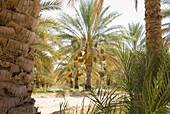 Dattelpalmen im Sonnenlicht, Tozeur, Gouvernorat Tozeur, Tunesien, Afrika
