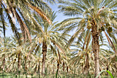Date palms in the sunlight, Tozeur, Gouvernorat Tozeur, Tunisia, Africa