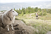 Mountainbiker riding past a flock of sheep in the mountains, Lillehammer, Norway