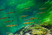 Fishes in flowing water, Krka National Park, Dalmatia, Croatia, Europe