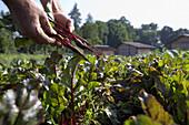 Beetroot (Formanova), biological dynamic (bio-dynamic) farming, Demeter, Lower Saxony, Germany