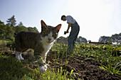 Farmer harvesting herbs, cat in foreground, biological dynamic (bio-dynamic) farming, Demeter, Lower Saxony, Germany