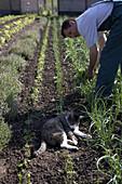 Farmer harvesting onions, cat in foreground, biological dynamic (bio-dynamic) farming, Demeter, Lower Saxony, Germany