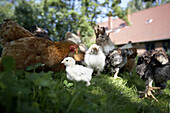 Hens with chicken in clover, biological dynamic (bio-dynamic) farming, Demeter, Lower Saxony, Germany