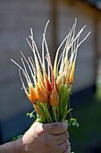 Freshly carrots, biological dynamic (bio-dynamic) farming, Demeter, Lower Saxony, Germany