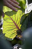 Leaf, red pointed cabbage, biological dynamic (bio-dynamic) farming, Demeter, Lower Saxony, Germany