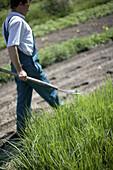Farmer with spading fork near purple salsify patch, biological dynamic (bio-dynamic) farming, Demeter, Lower Saxony, Germany