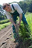 Farmer harvesting purple salsify, biological dynamic (bio-dynamic) farming, Demeter, Lower Saxony, Germany