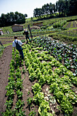 Farmer harvesting lettuce, biological dynamic (bio-dynamic) farming, Demeter, Lower Saxony, Germany