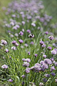 Blooming french chive, biological dynamic (bio-dynamic) farming, Demeter, Lower Saxony, Germany