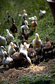 Diepholz geese eating, biological dynamic (bio-dynamic) farming, Demeter, Lower Saxony, Germany