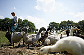 Diepholz geese eating snails, biological dynamic (bio-dynamic) farming, Demeter, Lower Saxony, Germany