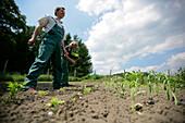 Landwirte pflanzen Petersilie, biologisch-dynamische Landwirtschaft, Demeter, Niedersachsen, Deutschland