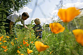 Father and son picking California poppy (Eschscholzia californica), biological dynamic (bio-dynamic) farming, Demeter, Lower Saxony, Germany