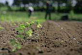 Parsley seedlings, biological dynamic (bio-dynamic) farming, Demeter, Lower Saxony, Germany