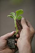 Hands holding seedling, biological dynamic (bio-dynamic) farming, Demeter, Lower Saxony, Germany