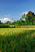 Scenery with rice fields at the volcano Gunung Agung, East Bali, Indonesia, Asia