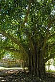 Banyan tree at forest temple, Tenganan, Bali Aga village, East Bali, Indonesia, Asia