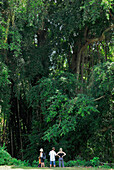Tourists standing under a giant Banyan tree at Tenganan, Bali Aga village, East Bali, Indonesia, Asia