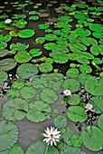 View at water lillies in a pond at Amandari Resort, Yeh Agung, Bali, Indonesia, Asia