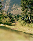 Narrow path through agaves in a valley, Puebla province, Mexico, America