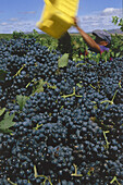 Harvest impression, Merlot grapes in a vineyard around Helderberg belonging to Flagstone winery, Helderberg, Western Cape, South Africa, Africa