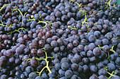 Nahaufnahme von Weintrauben, Rot, Rotwein, Weinanbau