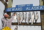 Fisherman Hangs Caught Fish from Fishing Charter at Seward Alaska Dock Area Boat Harbor AK U S United States Kenai Peninsula Resurrection Bay