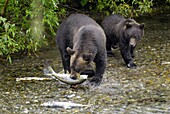 Black Bear catching and eating Salmon at Fish Creek Wildlife Observation Site Tongass National Forest near Hyder Alaska AK US United States nature animals predator predatory survival instinct