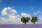 Lavender (Lavandula angustifolia) and Oak tree, Eiche, Vaucluse, Provence, France