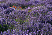 Lavender (Lavandula angustifolia) and poppies, Vaucluse, Provence, France