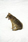 Wolf (Canis lupus). Bayerischer Wald National Park. Germany.