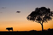Bull and holm oak at sunset. Jaen province, Andalucia, Spain