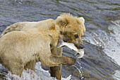 Adult Grizzly Bear catches a Salmon at Brooks Falls with Cub - Alaska, USA