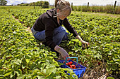 Young girl in a field of farmered fruit plants picking fresh strawberries