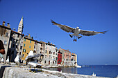 Herring gulls (Larus argentatus) on the rock walls of the old town of Rovinj, Istria, Croatia, Adriatic Sea, Mediterranean Sea.