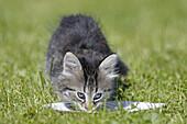 Domestic Cat, Germany, kitten, drinking milk